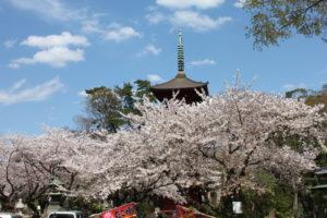法華経寺の桜