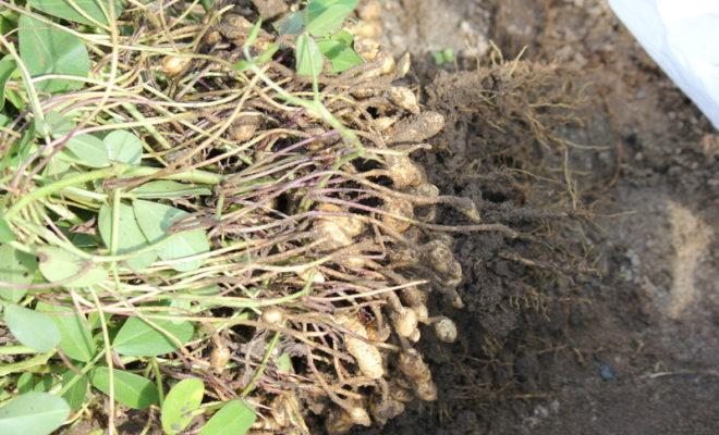 落花生の収穫時期は9月下旬から10月!土から掘り起こした!