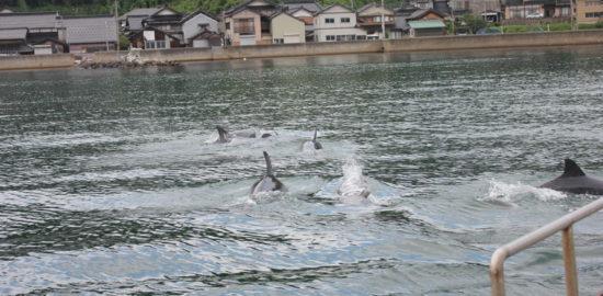 能登島でイルカウォッチング!12頭の群れが目の前を泳ぐ!