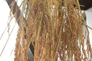 稲穂の乾燥