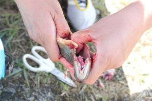 岩魚(いわな)をはさみで捌く